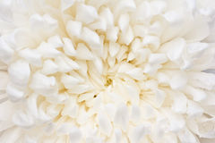 Closeup petals of white  flower. Stock Photography