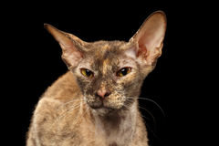 Closeup Peterbald Sphynx Cat Curiosity Looking on Black Royalty Free Stock Photography