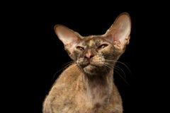 Closeup Peterbald Sphynx Cat Curiosity Looking on Black Royalty Free Stock Photo