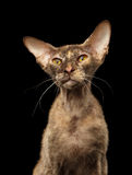 Closeup Peterbald Sphynx Cat Curiosity Looking on Black Royalty Free Stock Image