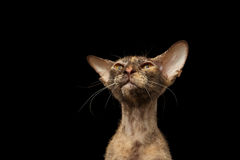 Closeup Peterbald Sphynx Cat Curiosity Looking on Black Stock Photography