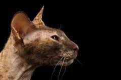 Closeup Peterbald Sphynx Cat at Profile view on Black Stock Photos