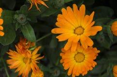 Orange Calendula officinalis flowers Royalty Free Stock Photos