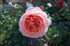 Closeup pf pink flower of rose in June stock photos
