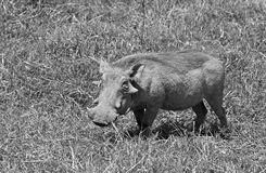 Black and white wild pig Royalty Free Stock Images