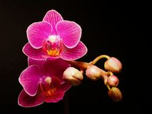 Closeup of a Phalaenopsis blossom stock images