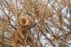 Closeup of philetairus socius nest Stock Images