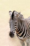 Closeup photo of african wild animal - zebra Royalty Free Stock Images