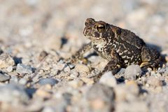 American Toad. A closeup photo of an American Toad Bufo americanus Stock Photography