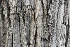 A bark of a tree. A closeup photo of a bark tree texture stock images