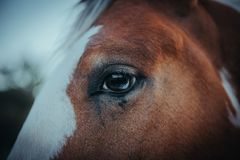 Beautiful american horse with a light blue eye. A closeup photo of a beautiful american blue eyed horse of brown and white color stock photo