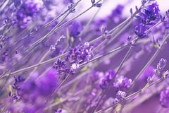 Closeup photo of beautiful gentle lavender flower field, abstract purple floral background royalty free stock images