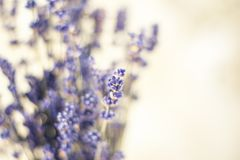 Closeup photo of beautiful gentle lavender flower field stock photos