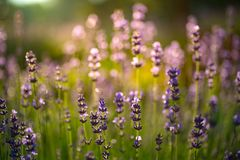 Closeup photo of beautiful gentle lavender flower field, abstract purple floral background, aromatic plant, beauty of summer. Nature royalty free stock photography