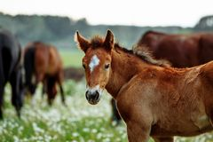 Closeup photo of a beautiful chestnut mare with her beautiful newbor foal at rural animal farm stock photo