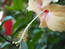 Exotic Hibiscus Flower in the Tropical Garden stock images