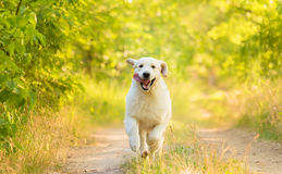 Closeup photo of a beauty Labrador dog. In the nature royalty free stock photography