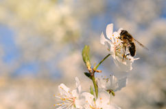 Closeup photo of a bee on cherry tree flower Royalty Free Stock Image