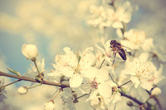 Closeup photo of a bee on cherry tree flower. Vintage view Royalty Free Stock Images