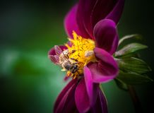 Closeup Photo of Bee on Pink and Yellow Petaled Flower Stock Photography