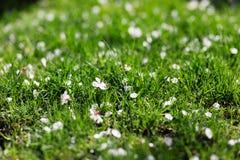 Closeup photo of blossom petals in green grass, morning light Stock Photos
