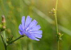 Closeup photo of a blue wildflower stock image