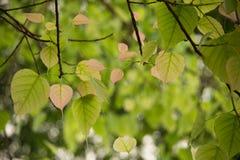 Closeup photo of Bo leafs. Stock Image
