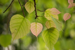 Closeup photo of Bo leafs. Royalty Free Stock Images