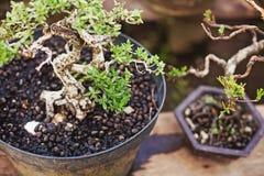 Closeup photo of bonsai Stock Images