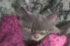 Closeup photo of a British breed cat lilac, cozy located in a warm blanket. Shallow depth of field. Focus on the eyes. Extreme close-up stock photo