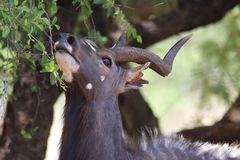 Closeup Photo of Brown Antelope Eating Leaves Royalty Free Stock Photography