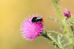 Closeup photo of a bumble bee on thistle wildflower Stock Photography