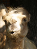 Closeup photo of camel Royalty Free Stock Images