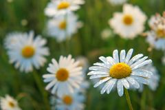 Closeup photo of a chamomile flowers. Lonely daisy during sunset Royalty Free Stock Photos