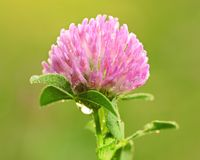Closeup photo of a clover flower with. Dew at dawn royalty free stock image