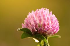 Closeup photo of a clover flower with Stock Images