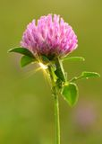 Closeup photo of a clover flower with Royalty Free Stock Photo