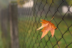 Closeup photo of colorful autumn leaf on fence Royalty Free Stock Photo