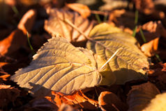 Closeup photo of colourful fallen autumn leaves. Abstract closeup of colourful autumn leaves lying on the ground. They are bathed in warm afternoon light from Royalty Free Stock Images