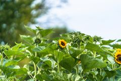 Closeup Photo of Countryside Foliage - Abstract Sunflower Background.  stock photos