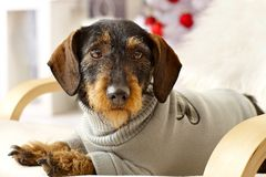 Closeup photo of cute dackel. Closeup photo of cute dachshund in jumper lying in armchair Stock Image