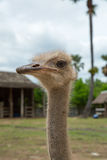 Closeup photo of cute Emu bird. Stock Image