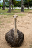 Closeup photo of cute Emu bird. Stock Photos