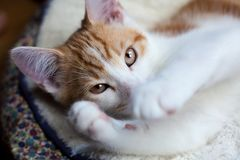 Shy Little Ginger. Closeup photo of a cute ginger kitten Royalty Free Stock Photos