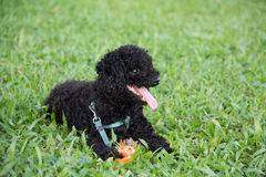 Closeup photo of cute poodle ate fish in Vietnam. Stock Photos