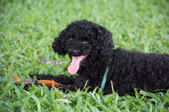 Closeup photo of cute poodle ate fish in Vietnam. Stock Images