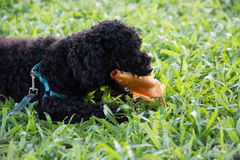 Closeup photo of cute poodle eating fish in Vietnam. Stock Photography
