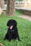 Closeup photo of cute poodle sitting in the park in Vietnam. Stock Photography