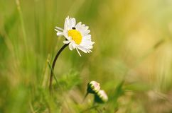 Closeup photo of daisy flower a sunny day Royalty Free Stock Photography