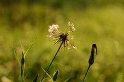 Closeup photo of dandelion at sunrise Royalty Free Stock Photo